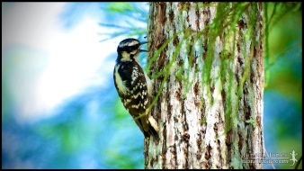 Dryobates pubescens, the Downy woodpecker; Collier county, Florida (25 May 2012).