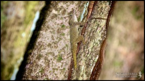 Anolis distichus, the Bark anole; Miami-Dade county, Florida (02 September 2011).