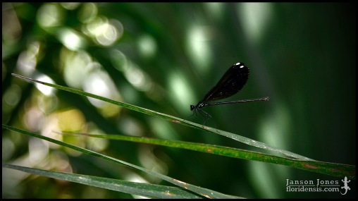 Calopteryx maculata, the Ebony jewelwing; Volusia county, Florida (07 May 2020).
