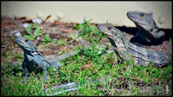 Ctenosauria similis, the Black spiny-tailed iguana; Miami-Dade county, Florida (08 March 2014).
