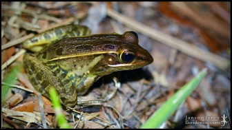 Lithobates sphenocephalus, the Southern leopard frog; Volusia county, Florida (19 April 2020).