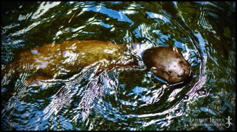 Lontra canadensis, the North American river otter; Volusia county, Florida (30 April 2020)