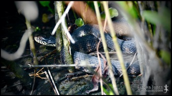 Nerodia fasciata pictiventris, the Florida banded watersnake; Volusia county, Florida (09 May 2020).