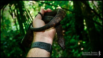 Nerodia taxispilota, the Brown watersnake; Volusia county, Florida (07 May 2020).