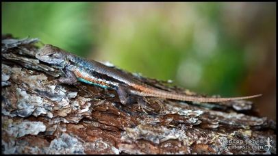 Sceloporus woodi, the Florida scrub lizard; Martin county, Florida (09 June 2017).
