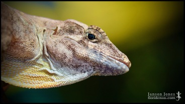Anolis cybotes, the Hispaniolan stout anole; Broward county, Florida (21 January 2017).