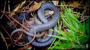 Coluber constrictor priapus, the Southern black racer; Volusia county, Florida (29 December 2014).