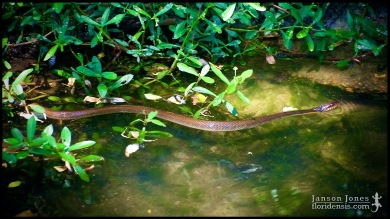 Nerodia erythrogaster, the Plainbelly watersnake; Lowndes county, Georgia (12 April 2012).