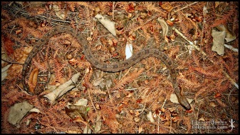 Nerodia taxispilota, the Brown watersnake; Volusia county, Florida (03 January 2007).