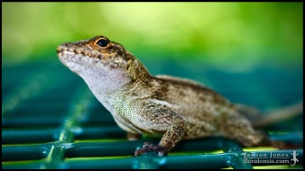 Anolis cristatellus, the Puerto Rican crested anole; Miami-Dade county, Florida (16 March 2017).